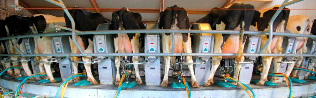 Milchprüfung Kühe werden gemolken