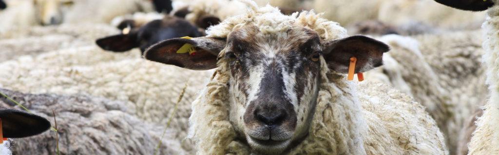 Prämie für Ziegen und Schafe