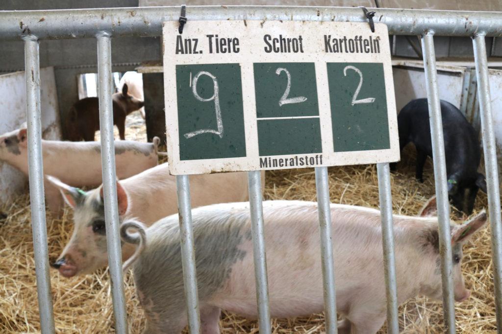 Schweine im Stall des Biolandgutes Gronenfelde