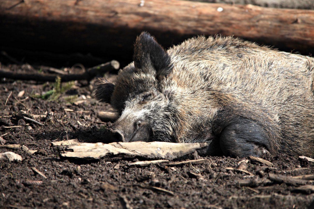 Wildschweine als Überträger der Afrikanischen Schweinepest (ASP)