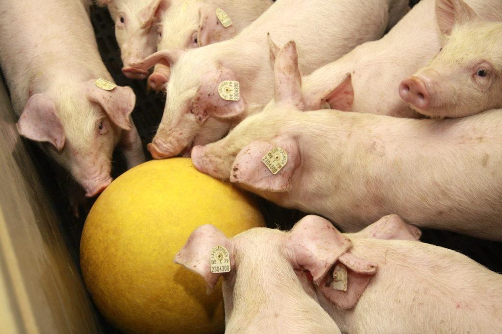 Mehrere Schweine mit einem Spielball
