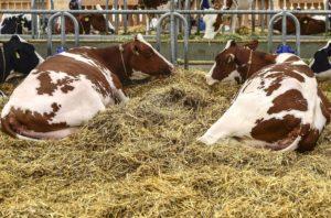 Kühe in einer Liegebox