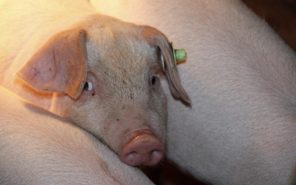 Leicoma Schwein im Stall