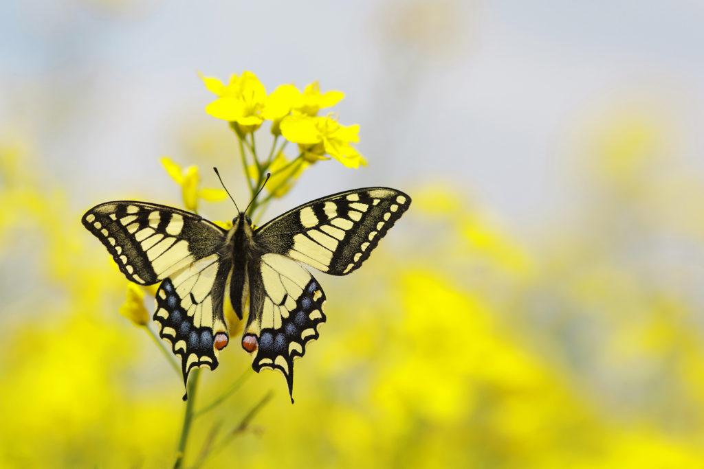 ein Schmetterling auf Winterraps