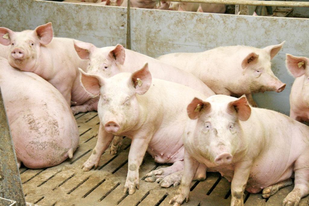 Schweine im Stall - Symbolbild zur Schließung des Vion-Schlachthofes in Altenburg