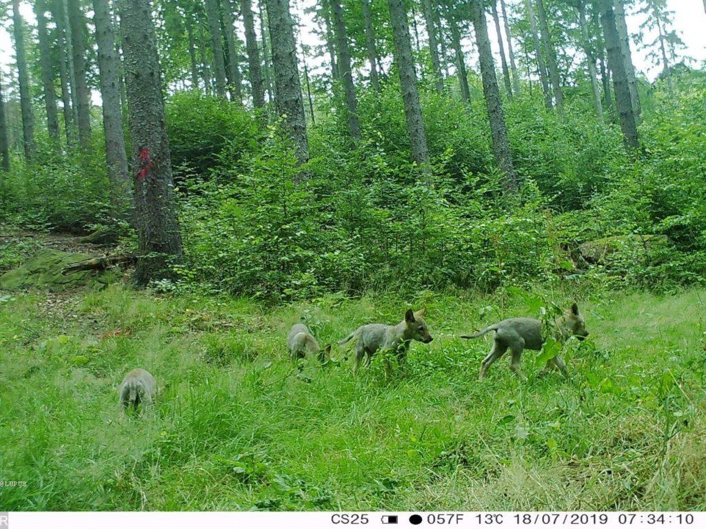 Wolfswelpen in einem Wald in Sachsen