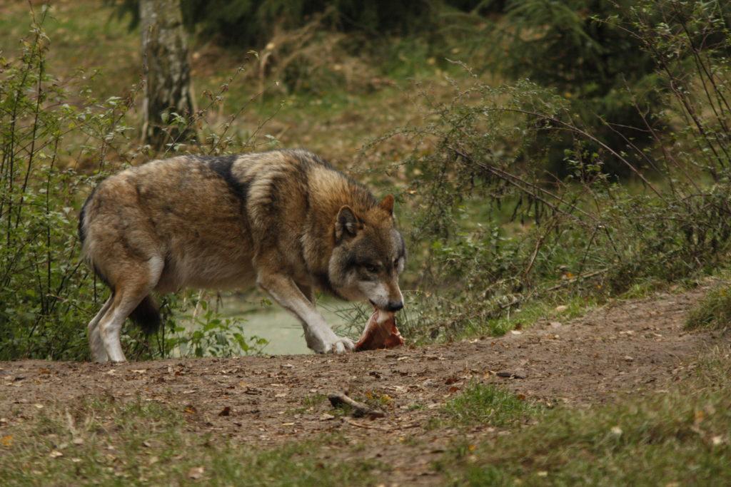 Wölfen, die sich auf Weidetiere spezialisieren, soll künftig unkomplizierter das Handwerk gelegt werden. (C) Sabine Rübensaat (aufgenommen im Wildpark Schorfheide)