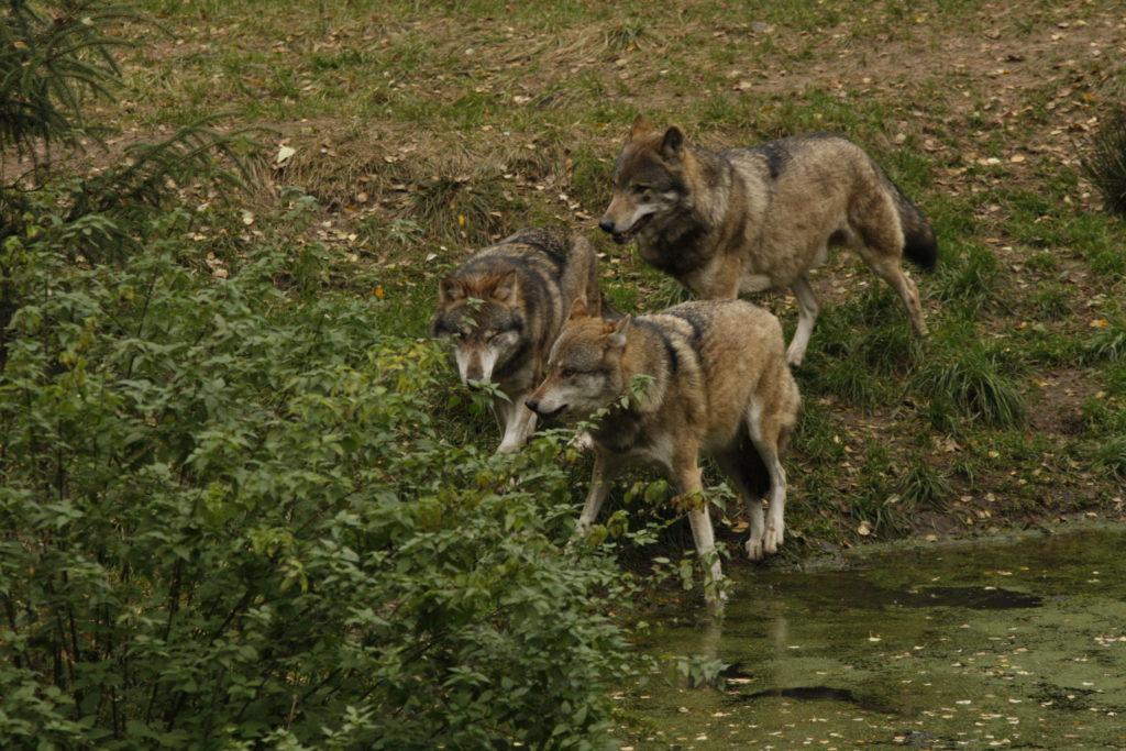 Drei Wölfe im Wildpark Schorfheide