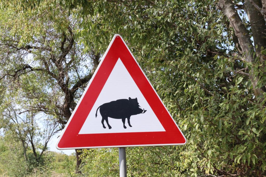 Afrikanische Schweinepest ASP in Brandenburg
