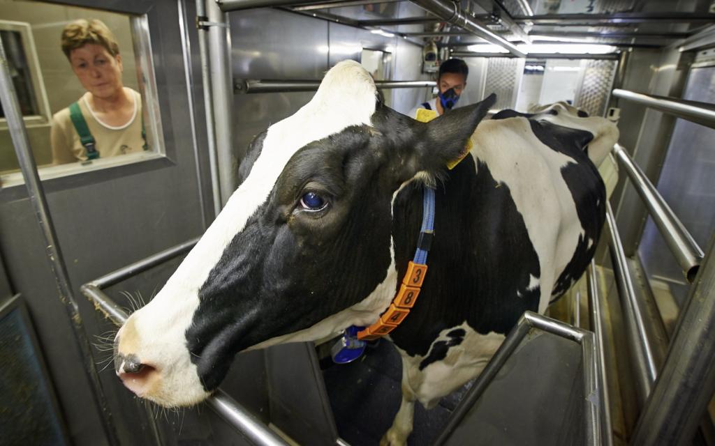 Eine Kuh steht in der Respirationskammer