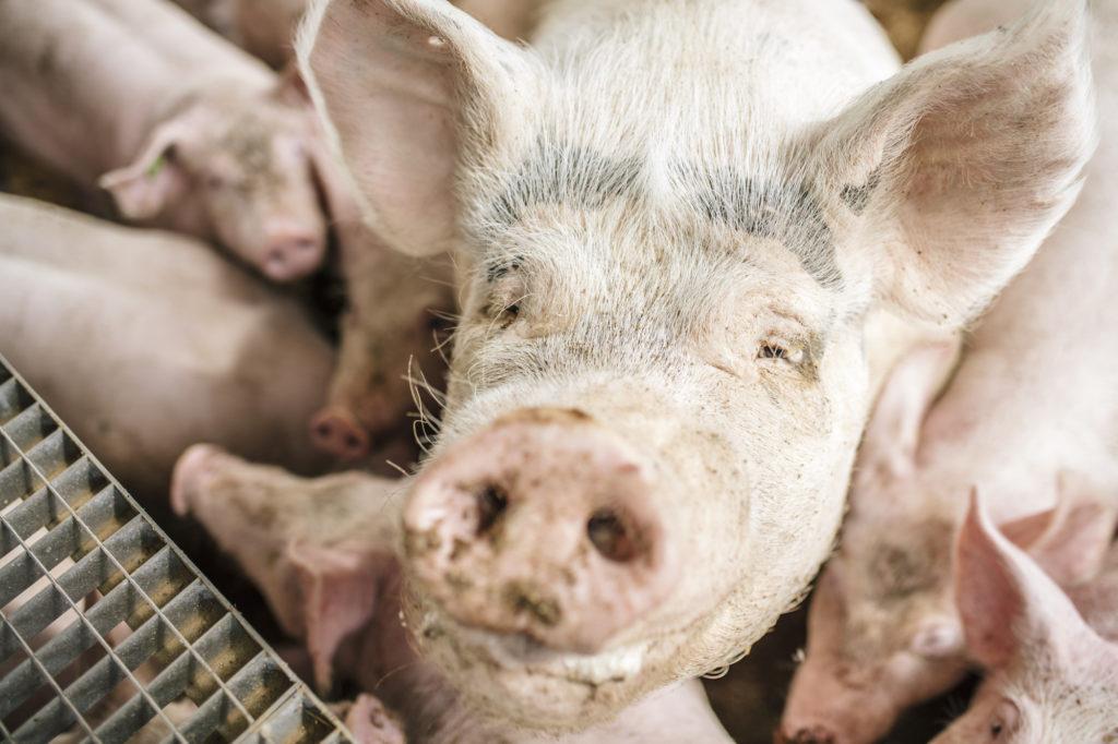 Schweinebranche vor ungewisser Zukunft