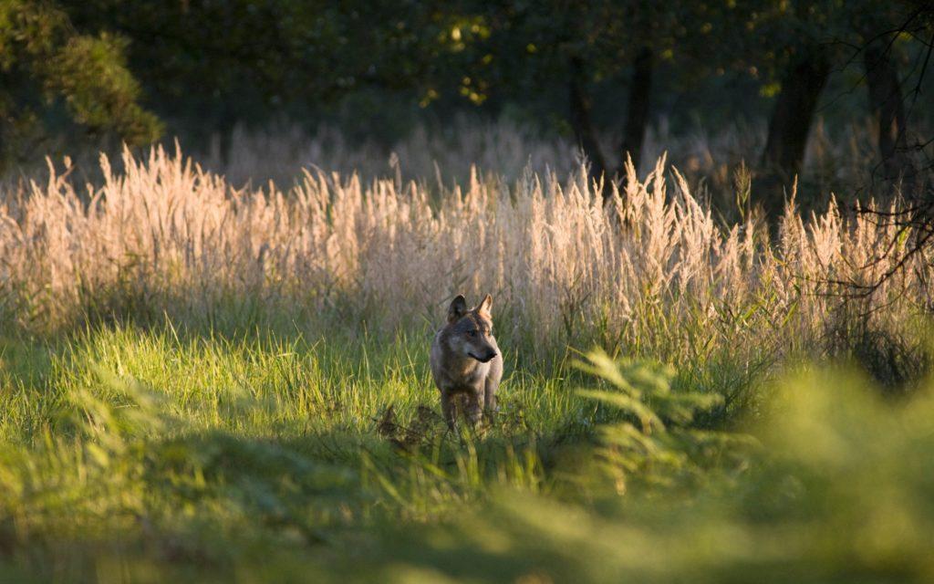 Ein Wolf in der Natur.