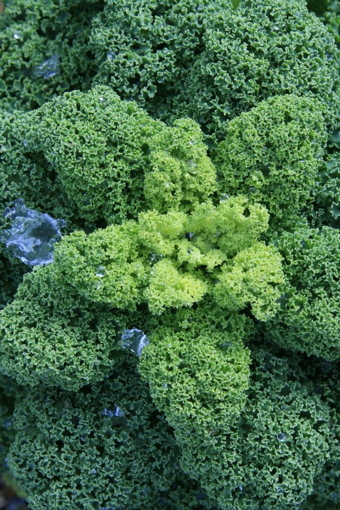 Grünkohl gehört zu den wenigen Gemüsesorten, die überdurchschnittlich oft zu beanstanden sind. (c) Sabine Rübensaat