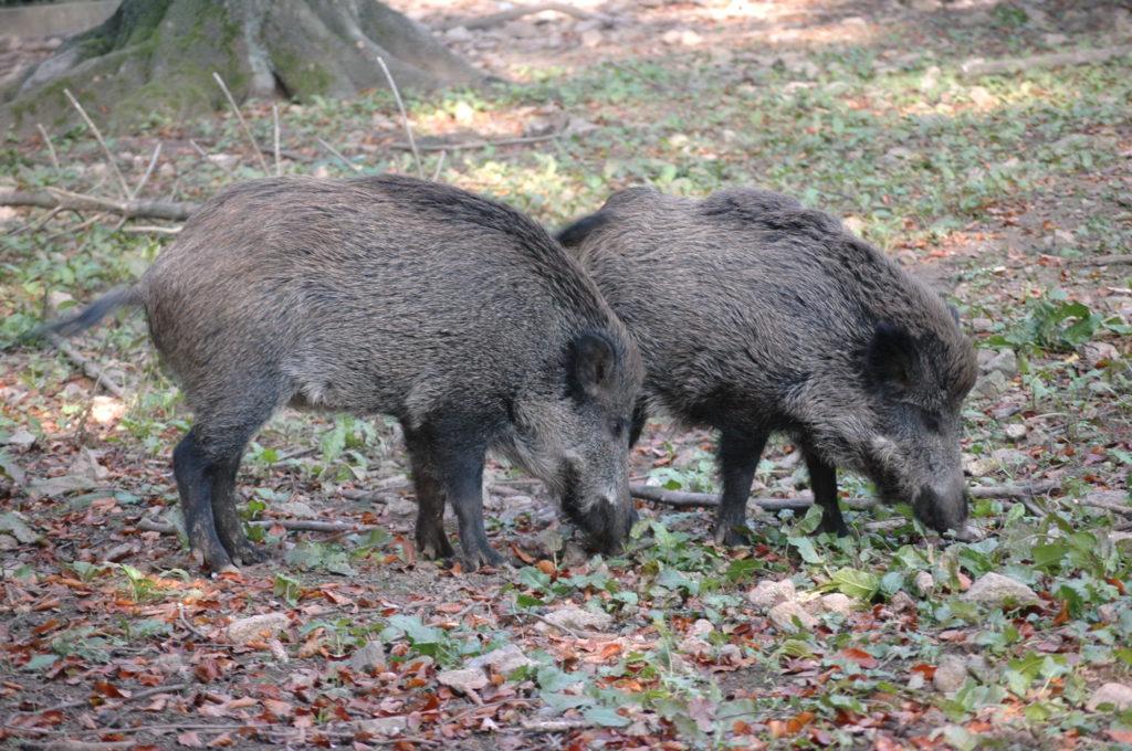 ASP Sachsen-Anhalt Verbraucherschutz Wildschweine