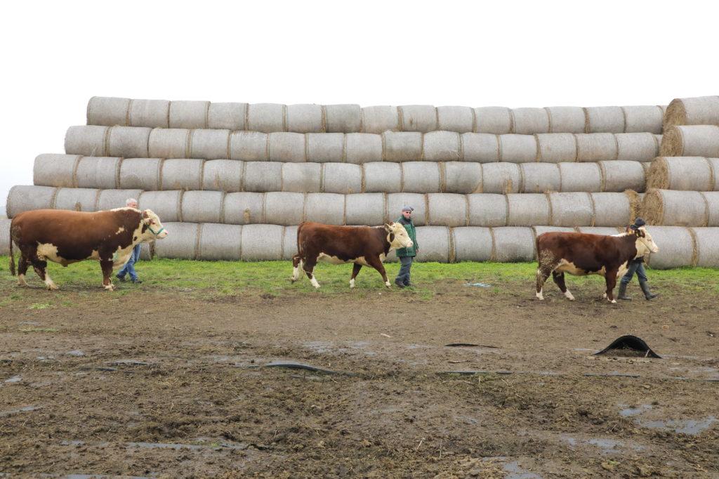 Hereford-Rinder Brandenburg Schau
