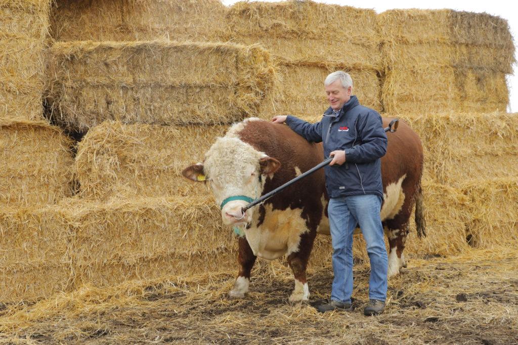 Hereford-Rinder Brandenburg Harvie und Bullisch