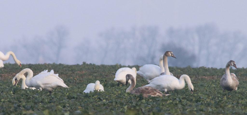 Schwäne auf Rapsfeld, Symbolbild Vogelgrippe