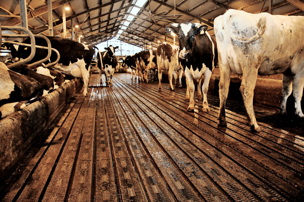 Neuer Stallboden mit Kühen