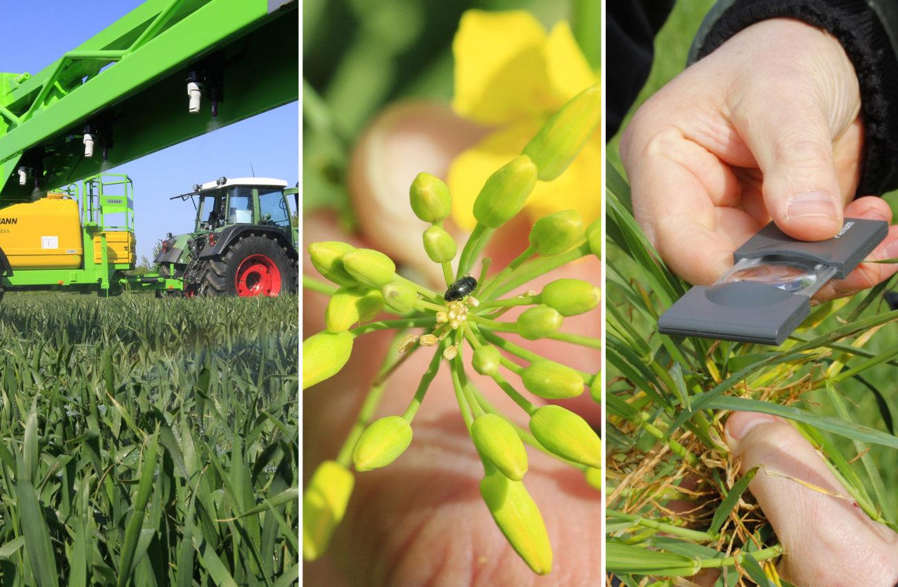 Pflanzenschutz mit Feldspritze, Rapsblüte und Bonitur im Weizen