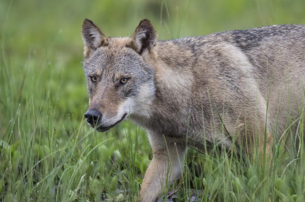 Ein Wolf auf der Jagd.