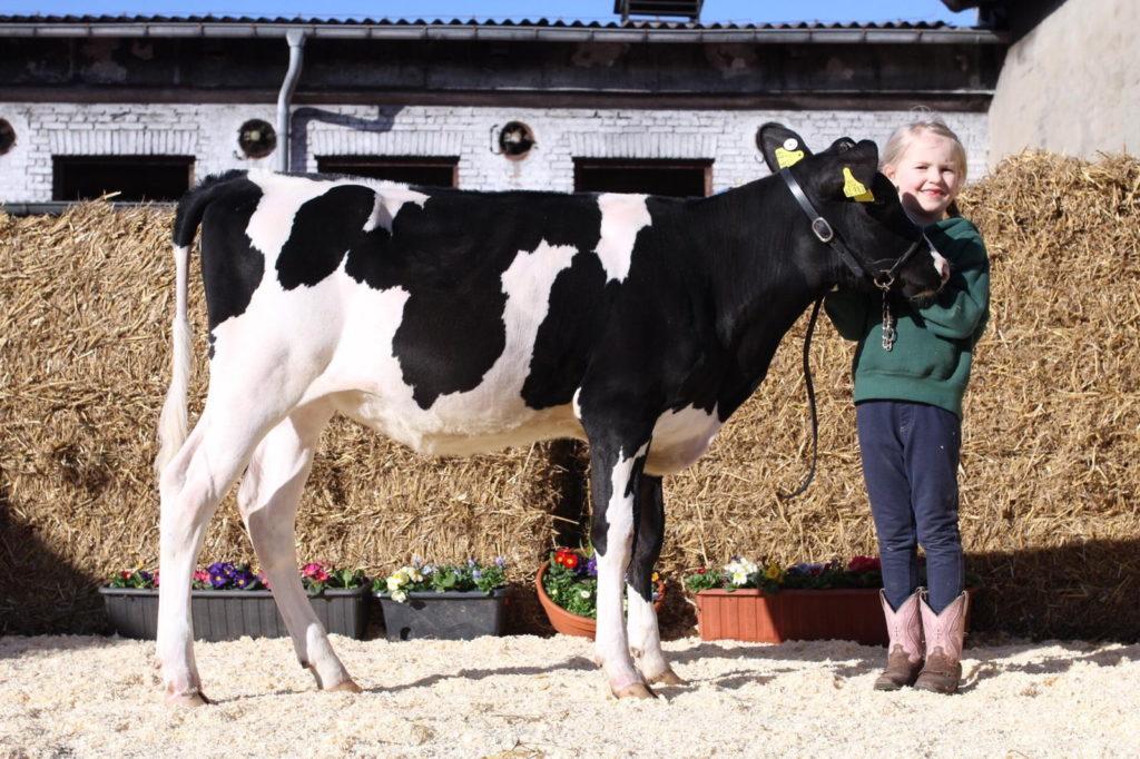 """Das Jungrind """"Holunder"""" wurde als am höchsten gebotenes Rind aus Mecklenburg-Vorpommern auf dem Sunrise Sale der RinderAllianz versteigert"""