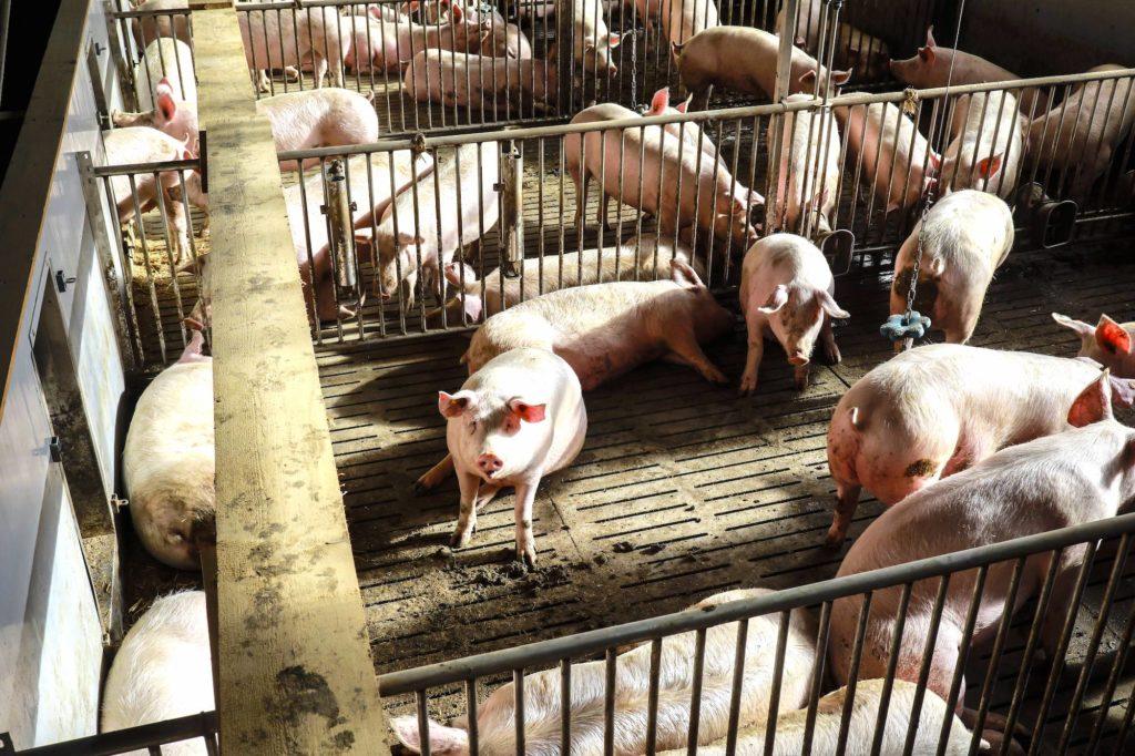 Landluft oder Geruchsbelästigung durch die Schweinemastanlage