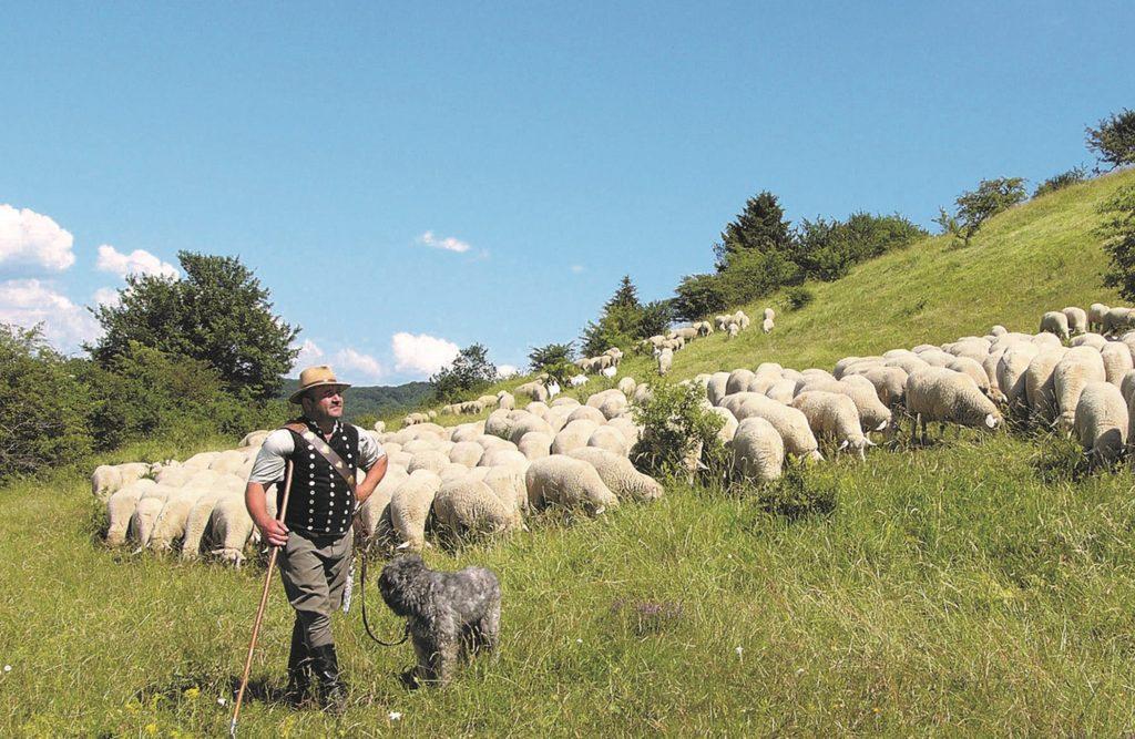Ein Schäfer und seine Schafe auf der Weide.