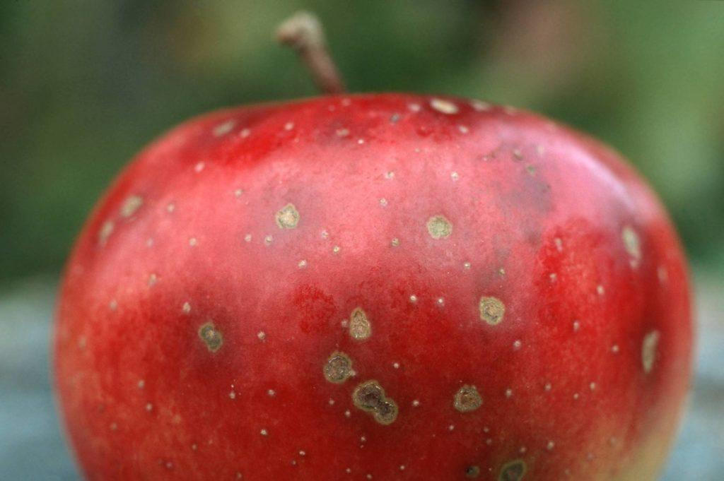 Ein roter Apfel mit der Krankheit Apfelschorf