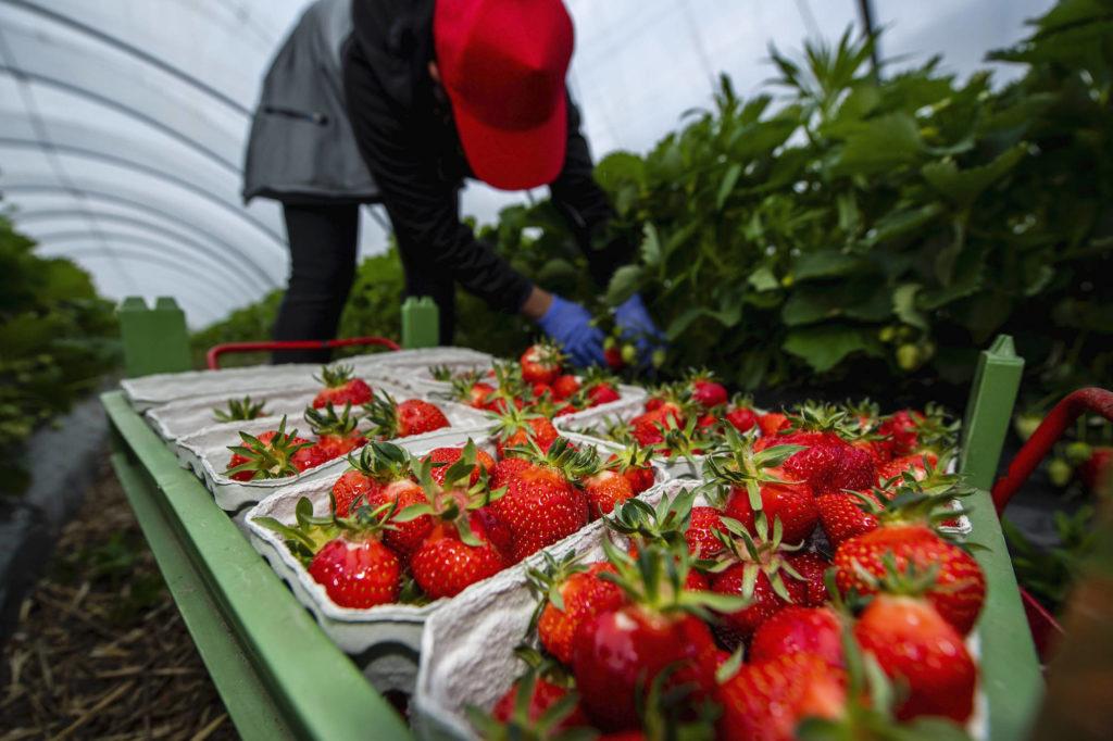 Eine rumänische Erntehelferin pflückt Erdbeeren