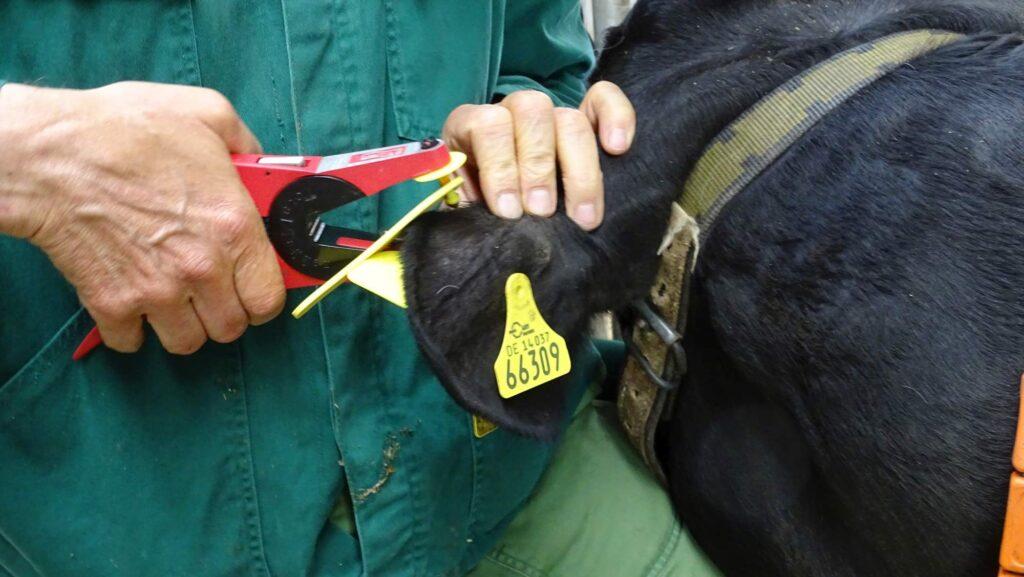 Ein Landwirt hält den Kopf einer Kuh und befestigt eine Marke an deren Ohr.