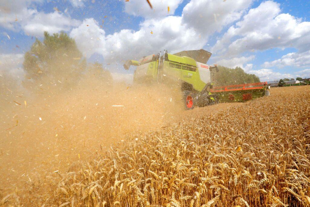 Weizenernte in Zeiten der Trockenheit