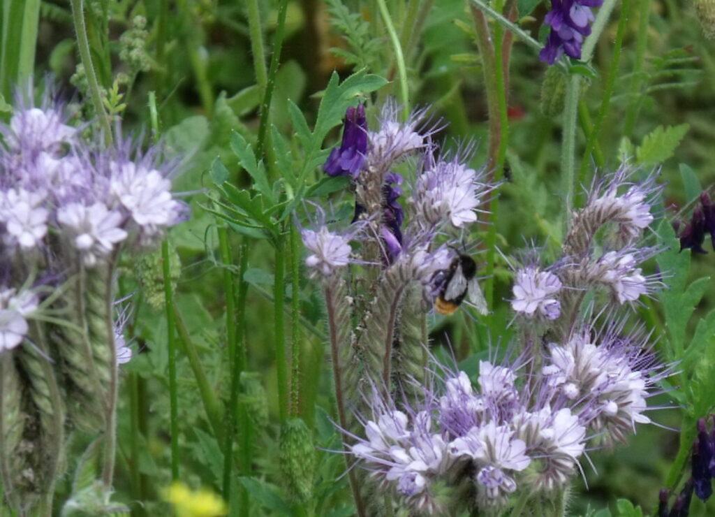 Blühflächen bieten Insekten Nahrung. (c) Sabine Rübensaat