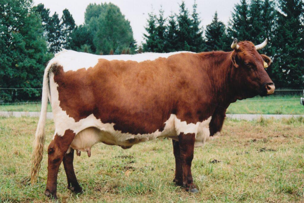 Die Rinderrasse Pinzgauer - ein echter Alleskönner
