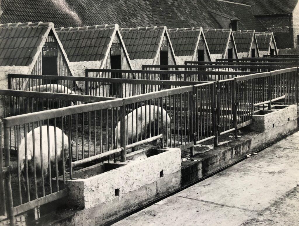 Schweinehütten in massiver Bauweise und Auslauf, 1962 fotografiert in der LPG Frauenprießnitz bei Jena. (c) Archiv Bauernzeitung/Naumann