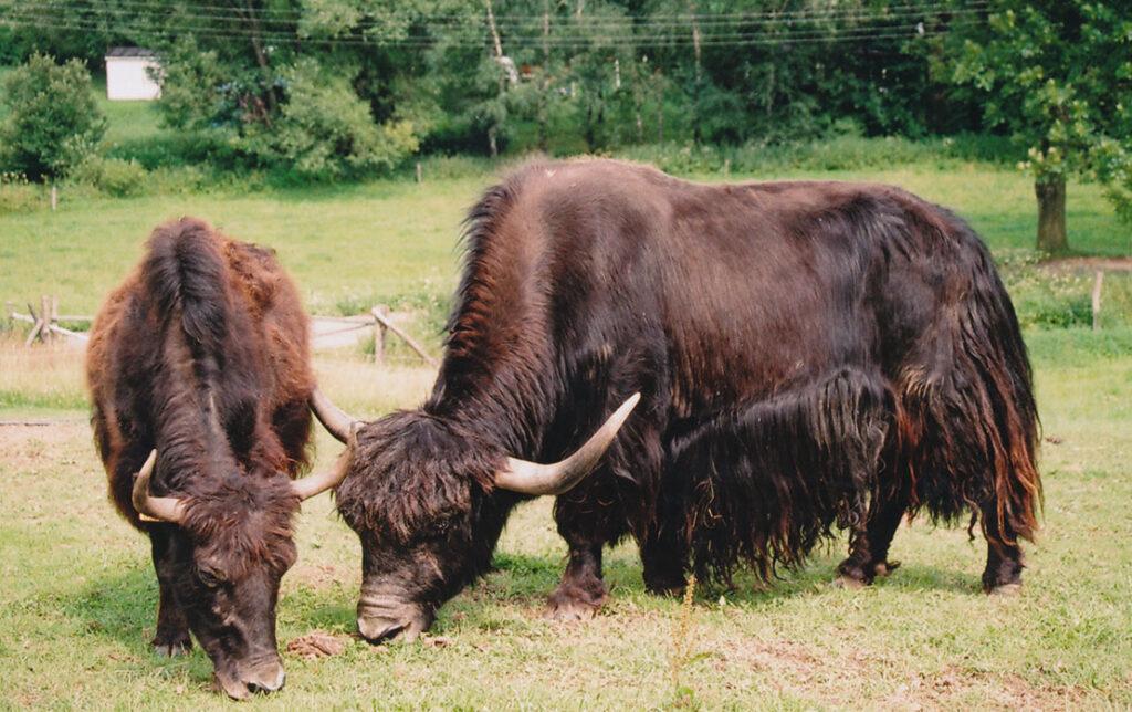 Yak Kuh und Ochse