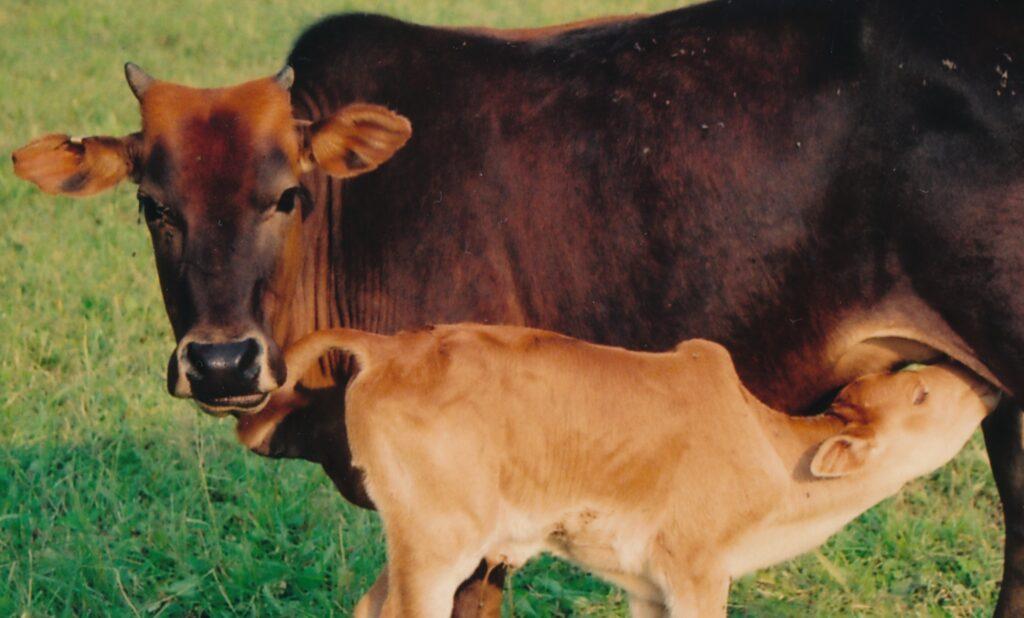 Zwergzebu weiblich mit Kalb.