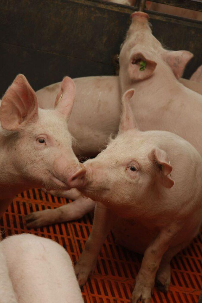 Schweine auf Spaltenboden.