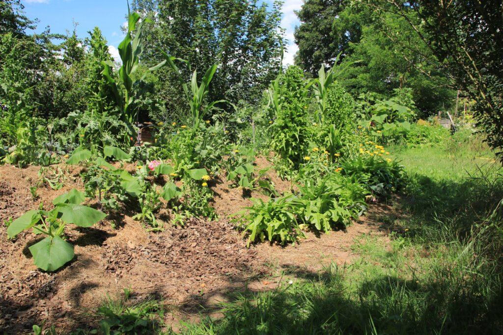 Hügelbeet mit Kürbispflanzen.