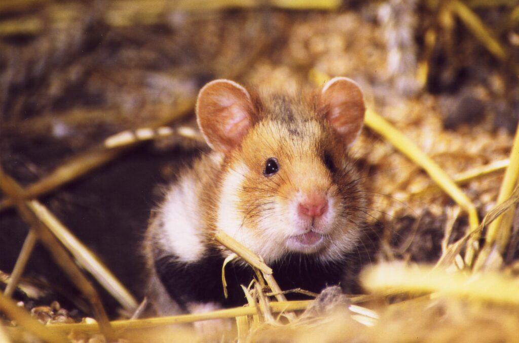 Ein Hamster im Feld.