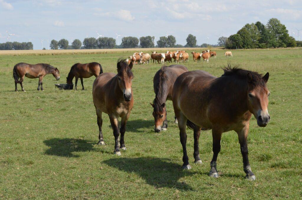 Die Exmoor-Ponys haben sich im Seelschen Bruch gut eingelebt. Im Hintergrund ist die Fleckvieh-Mutterkuhherde zu sehen