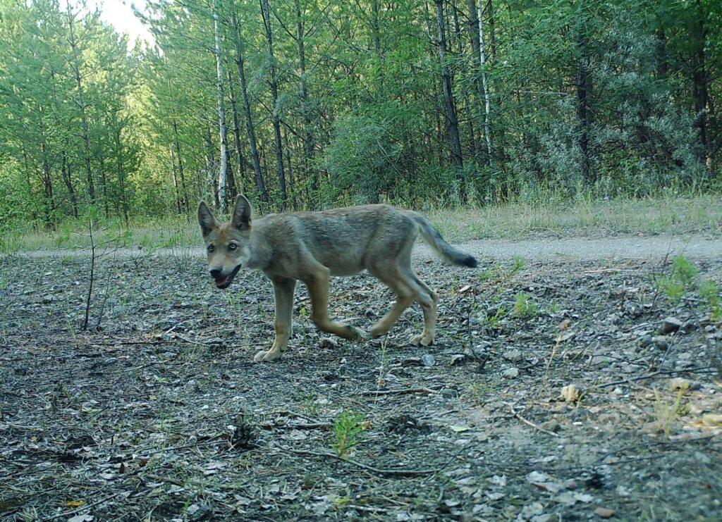 Ein Wolfswelpe läuft über einen Waldweg.