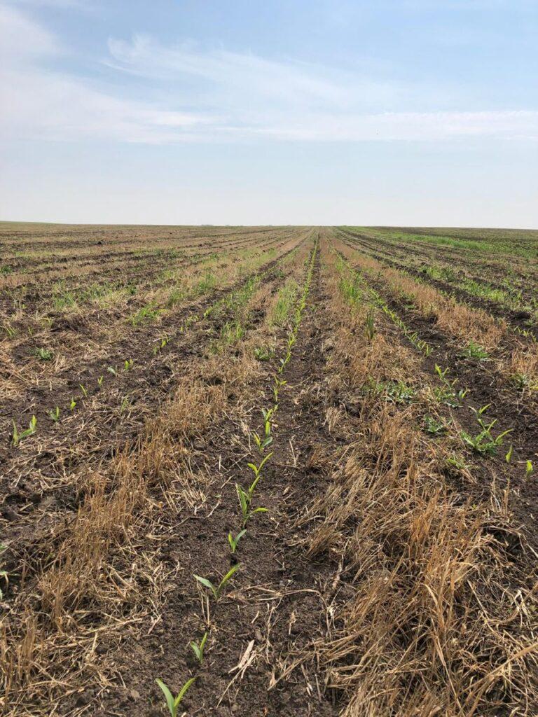 Saatbett für Mais
