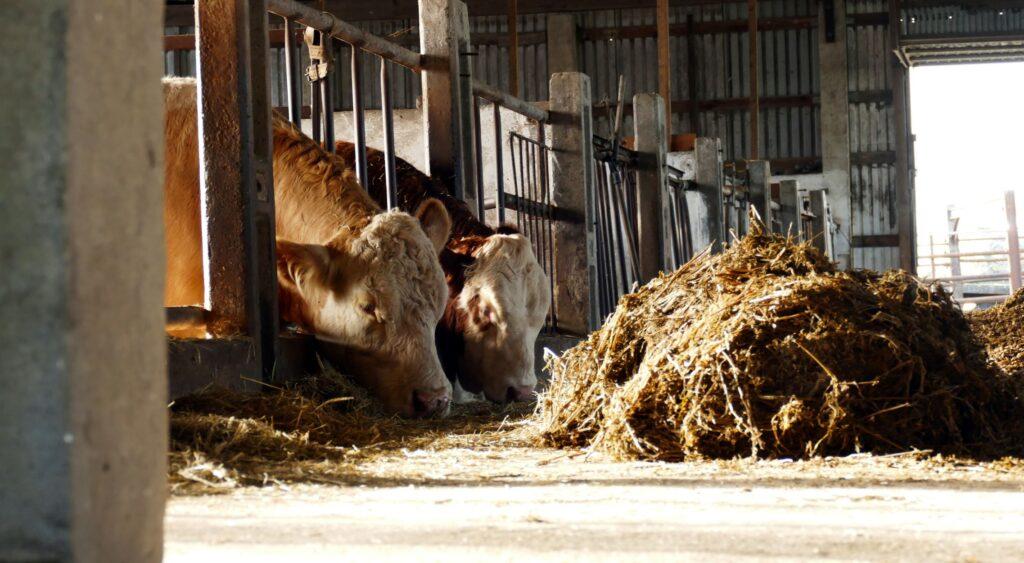 Die Herde des Familienbetriebes umfasst aktuell 21 Mutterkühe.