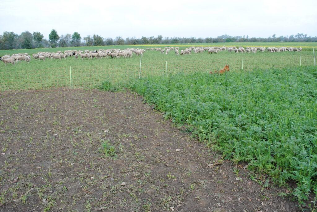 Schafherde grast parallel zum bewirtschafteten Acker